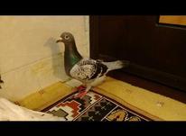 کبوتر پلاکی در شیپور-عکس کوچک