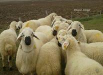 مشارکت وسرمایه گذاری در گوسفند داری داشتی در شیپور-عکس کوچک