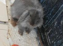 فروش خرگوش لوپ بالغ در شیپور-عکس کوچک