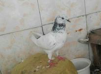 جفت  کبوتر زیبا  در شیپور-عکس کوچک