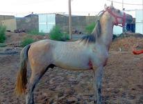 اسب  ترکمن  در شیپور-عکس کوچک
