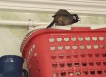 پرنده بلبل در شیپور-عکس کوچک