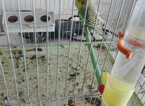 مرغ عشق جوان و مولد آماده تخم به همراه یک قفس در شیپور-عکس کوچک