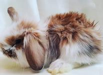 فروش 3 عدد خرگوش میتی لوپ پشمالو در شیپور-عکس کوچک