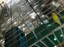 مرغ عشق هلندی معاوضه با قناری در شیپور-عکس کوچک