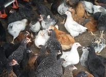 فروش مرغ بومی چهار ماهه در شیپور-عکس کوچک