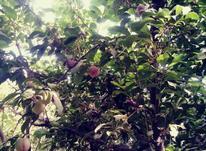 1500متر باغ سهیلیه در شیپور-عکس کوچک