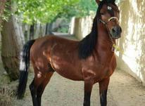 اسب کرد کهر در شیپور-عکس کوچک