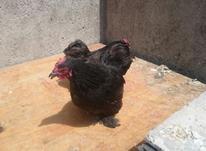 مرغ کوشین 3عدد دوتا هم خروس  در شیپور-عکس کوچک