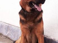 سگ ژرمن شپرد در شیپور-عکس کوچک