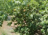 باغ کناررودخانه در شیپور-عکس کوچک