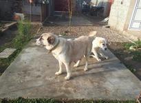 سگ ماده آلابای اصل در شیپور-عکس کوچک