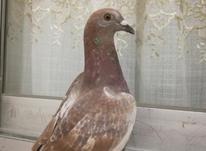 فروش یا معاوضه کبوتر مسافتی در شیپور-عکس کوچک