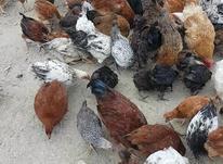 مرغ و خروس در شیپور-عکس کوچک