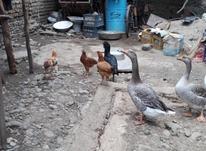 غاز خروس لاری و... در شیپور-عکس کوچک