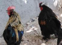 فروش مرغ و خروس محلی،  در شیپور-عکس کوچک
