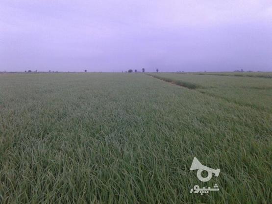 زمین کشاورزی شالیکاری. 3هکتار در گروه خرید و فروش املاک در گلستان در شیپور-عکس1