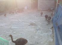 بوقلمون تخم گذار در شیپور-عکس کوچک