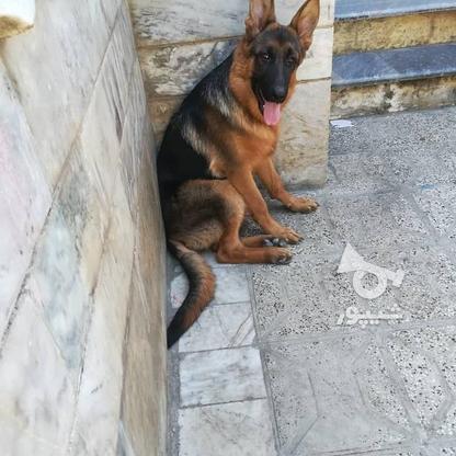 سگ ژرمن اصل در گروه خرید و فروش ورزش فرهنگ فراغت در گلستان در شیپور-عکس1