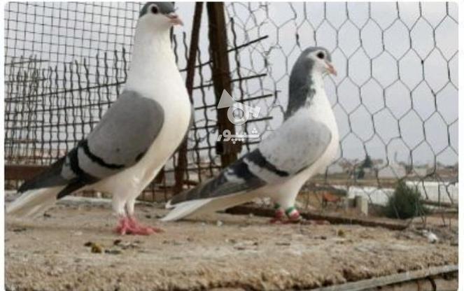 تعدادی کبوتر ساده در گروه خرید و فروش ورزش فرهنگ فراغت در گلستان در شیپور-عکس1