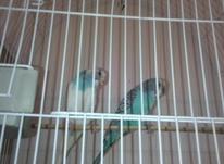 یک جفت مرغ عشق  در شیپور-عکس کوچک