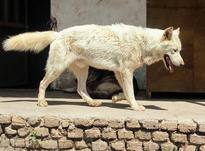 سگ سفید نر در شیپور-عکس کوچک