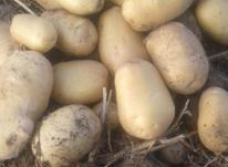 کار در مزرعه سیب زمینی  در شیپور-عکس کوچک