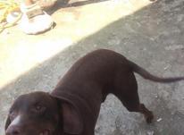 توله سگ شکاری نر در شیپور-عکس کوچک