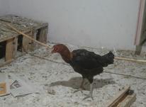 مرغ لاری تاج مهر در شیپور-عکس کوچک