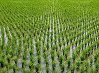 زمین کشاورزی 40 هکتار علی آباد ه در شیپور-عکس کوچک