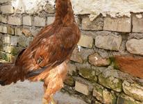 معاوزه جوجه مرغ لاری با مرغ محلی کرچ در شیپور-عکس کوچک