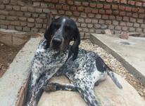 دو عدد سگ شکاری پوینتر اصل المان در شیپور-عکس کوچک