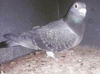 کبوتر آلمانی  در شیپور-عکس کوچک