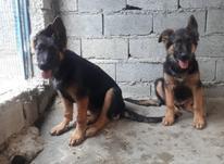 فروش توله سگ ژرمن شپرد در شیپور-عکس کوچک