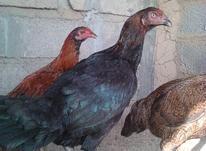 مرغ لاری مشکی دونگ بالا در شیپور-عکس کوچک