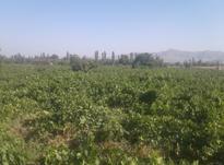 کارگر انگور چین در شیپور-عکس کوچک