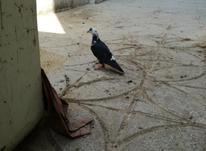 کفترپرشی...جوجه امسال در شیپور-عکس کوچک