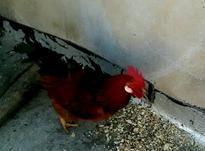 دو عدد مرغ ویک عدد خروس محلی در شیپور-عکس کوچک