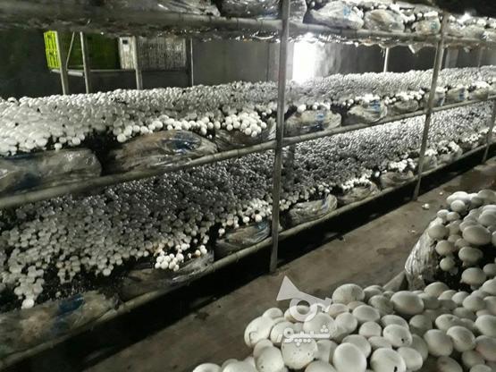 کارخانه قارچ 12.000 متری در گروه خرید و فروش املاک در قم در شیپور-عکس1