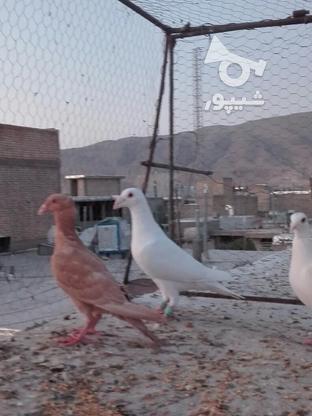 کفتریاکبوتر در گروه خرید و فروش ورزش فرهنگ فراغت در فارس در شیپور-عکس1
