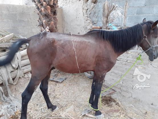 اسب فروشی هست در گروه خرید و فروش ورزش فرهنگ فراغت در فارس در شیپور-عکس1