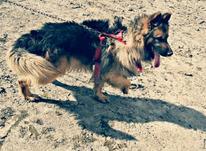 سگ ژرمن شولاین  در شیپور-عکس کوچک