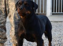 سگ رتوایلر ماده در شیپور-عکس کوچک