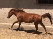اسب نریان سواری در شیپور-عکس کوچک