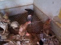 مرغ وخروس محلی در شیپور-عکس کوچک