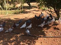 کبوتر (کفتر) در شیپور-عکس کوچک