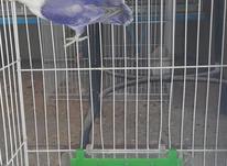 فروش برزیلی پاید نقابدار ویولت در شیپور-عکس کوچک