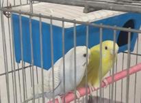 مرغ عشق جوان جفت خورده  در شیپور-عکس کوچک
