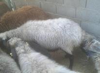 گوسفند ابستن در شیپور-عکس کوچک