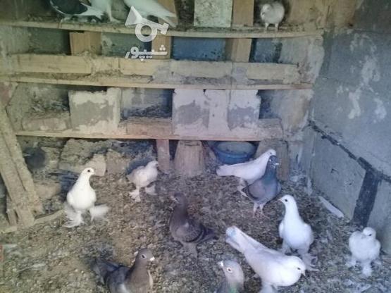 کبوتر با قیمت مناسب در گروه خرید و فروش ورزش فرهنگ فراغت در آذربایجان شرقی در شیپور-عکس1